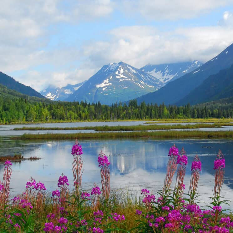 Alaska mountains fronted by clear blue water and pink flowers